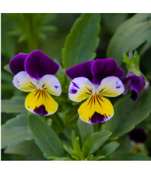 Violka rohatá Johnny Jump- Viola cornuta - osivo trvalek - 300 ks