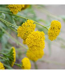 Řebříček tužebníkový Cloth of Gold - Achillea filipendula - prodej semen trvalek - 0,1 g