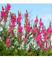 Vičnenec vigrus - Onobrychis viciifolia - prodej semen - 50 ks