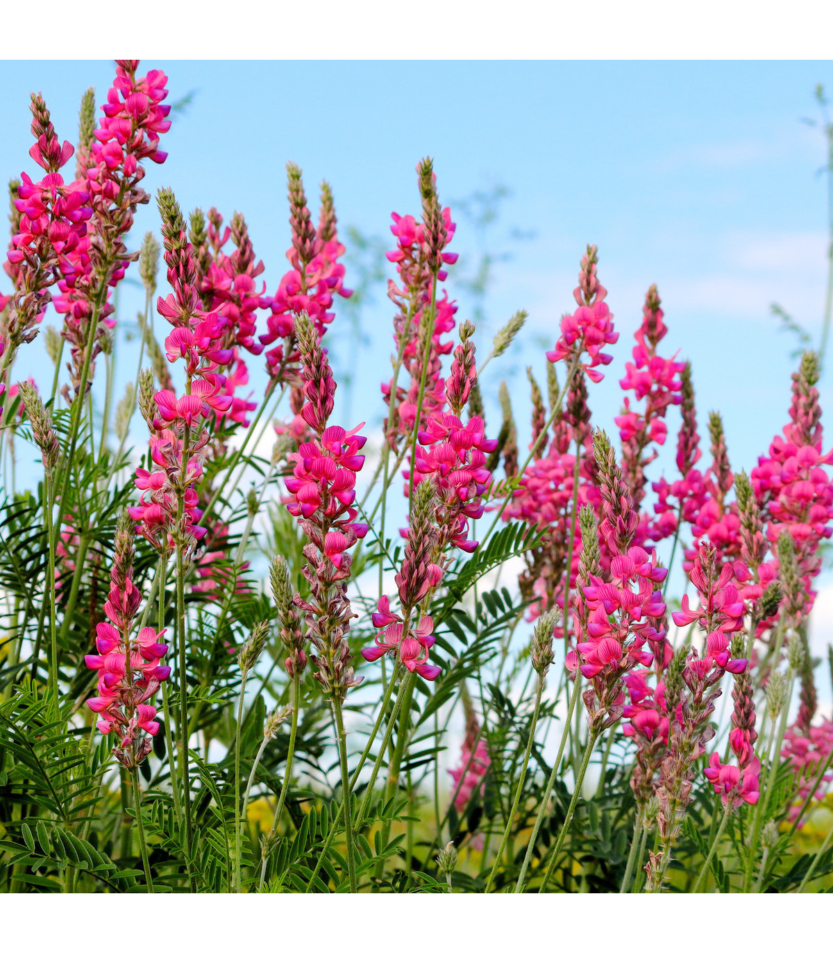 Vičenec ligrus - Onobrychis viciifolia - prodej semen - 50 ks