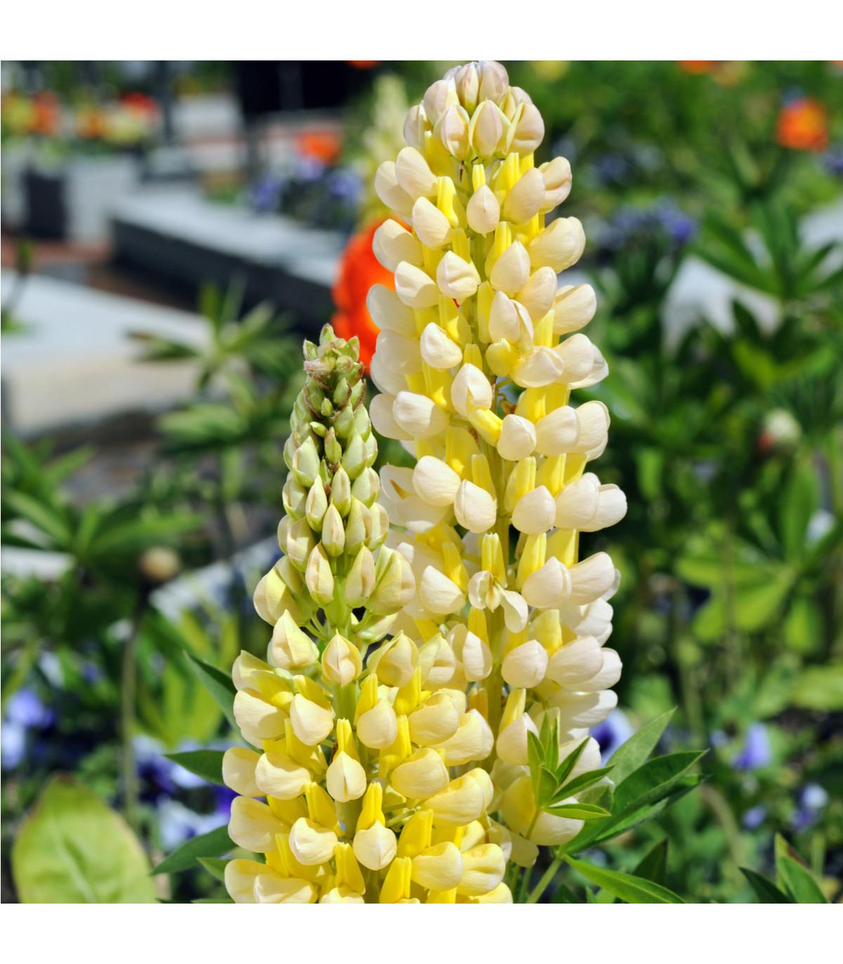 Vlčí bob Kronleuchter - Lupinus polyphyllus - semena vlčího bobu - 40 ks