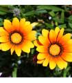 Kopretina kylnatá - směs barev - chrysanthemum carinatum - prodej semen letniček - 0,3 gr