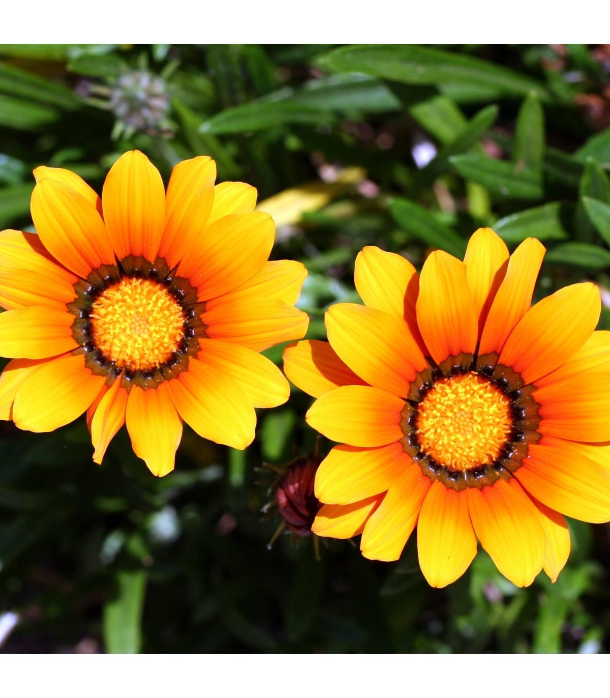 Kopretina kylnatá směs barev - chrysanthemum carinatum - osivo kopretiny - 0,3 g