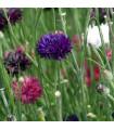 Chrpa Polka směs - Centaurea cyanus - prodej trvalek - 0,5 gr