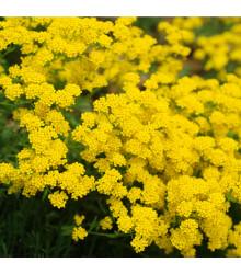More about Tařice skalní - Gold dust - Alyssum saxatile - semena Tařice - 150 ks