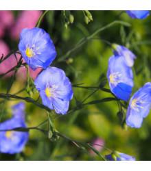 Len modrý - Linum perenne - osivo lnu - 250 ks