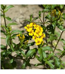 Aksamitník mexický - Mexický taragon - Tagetes lucida - semena Aksamitníku - 0,2 g