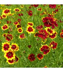 Krásnoočko směs barev - semena trvalek - 50 ks