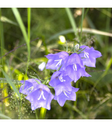 Zvonek broskvolistý modrý - Campanula persicifolia - osiva trvalek - 0,2 g