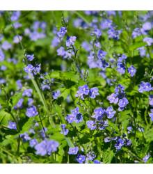 Rozrazil rozekvítek - Veronica chamedrys - semena rozrazilu - 25 ks
