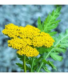 Řebříček tužebníkový Parkers žlutý - Achillea filipendulina - semena Řebříčku - 0,5 gr