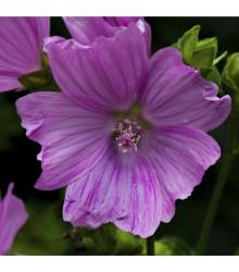 Sléz pižmový - trvalka Malva moschata - semena slézu - 50 ks
