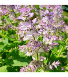 More about Šalvěj muškátová - Salvia sclarea - semena šalvěje - 50 ks