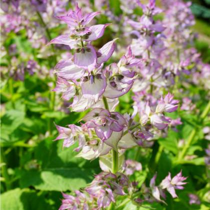 Šalvěj muškátová - Salvia sclarea - osivo šalvěje - 50 ks
