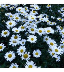 Kopretina bílá - Chrysanthemum leucanthemum max.- prodej semen - 200 ks