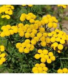 Kopretina vratič - Vratič obecný - Tanacetum vulgare - osivo kopretiny - 0,4 g