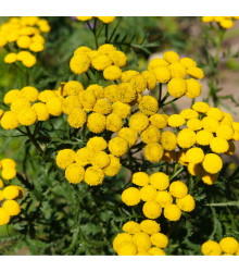 Kopretina vratič - Vratič obecný - Tanacetum vulgare - prodej semen - 0,4 gr