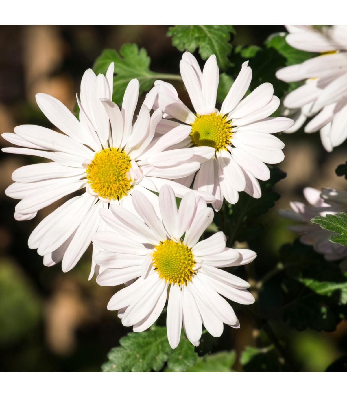 Kopretina bílá Alaska - Chrysanthemum leucanthemum max. - osivo kopretiny - 250 ks