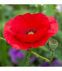 Vlčí mák červený - rostlina Papaver rhoeas - prodej semen máku - 0,2 gr