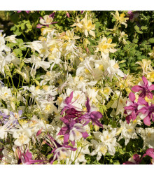 Orlíček Mc Kana směs barev - Aquilegia caerulea - semena trvalek - 0,3 g