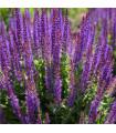 Šalvěj hajní - Blue Queen - Salvia nemorosa - semena -50 ks