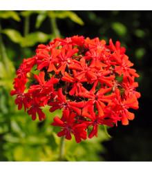 Kohoutek chalcedonský - Lychnis chalcedonica - prodej semen trvalek - 50 ks