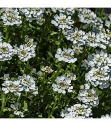 Huseník bílý - Arabis alpina- osivo huseníku - 200 ks