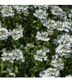 Huseník bílý - Arabis alpina- semena trvalek - 300 ks
