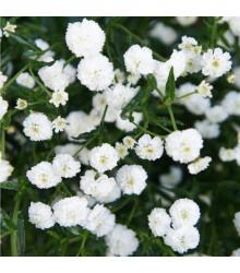 Řebříček Bertrám Perla - Achillea ptarmica - prodej semen trvalek - 0,1 g