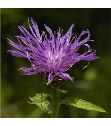 Chrpa Lesser Knapweed - Centaurea nigra - prodej trvalek - 120 ks