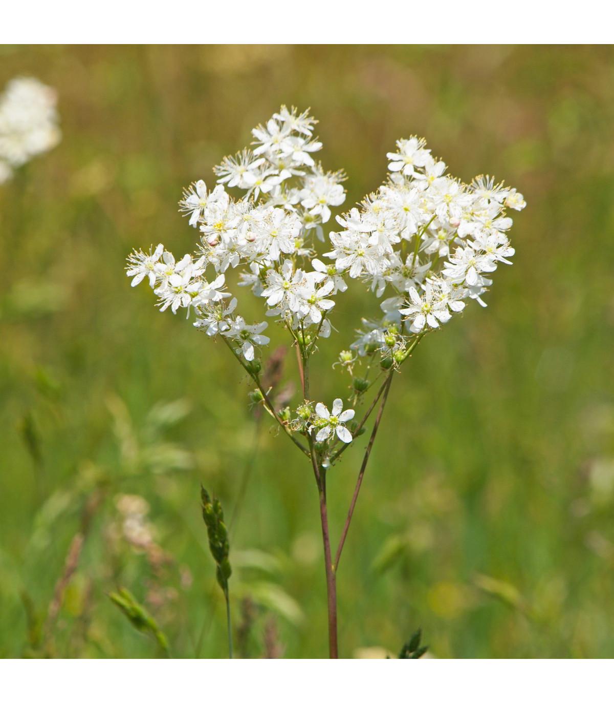 Tužebník obecný - Filipendula vulgaris - prodej semen trvalek - 0,3 g