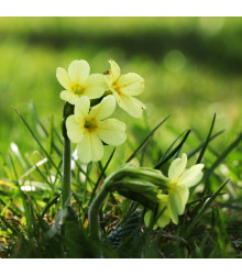 Prvosenka velkokvětá Oxlip - Primula elatior - semena prvosenky - 20 Ks