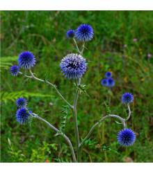 Bělotrn modrý - Echinops ritro - prodej semen - 6 ks