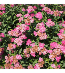 Řebříček tužebníkový Summer Berries F2 - Achillea millefolium - prodej semen trvalek - 20 Ks