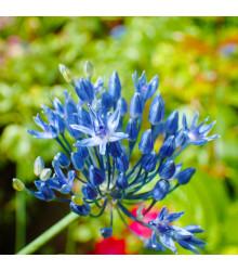 Česnek azurový - Allium caeruleum - cibule česneku - 3 ks