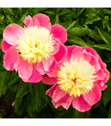 Pivoňka Bowl of Beauty - Paeonia lactiflora - hlízy pivoněk - 1 ks