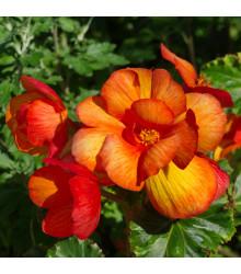 Begonie Picottee - Begonia Picottee - cibule begónií - 2 ks