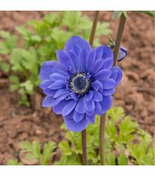 Sasanka modrá Lord Lieutenant - Anemone - cibule sasanek - 3 ks