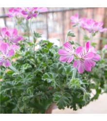 Pelargonie vonná - Attar - prodej semen muškátů - Pelargonium capitatum - 4 ks