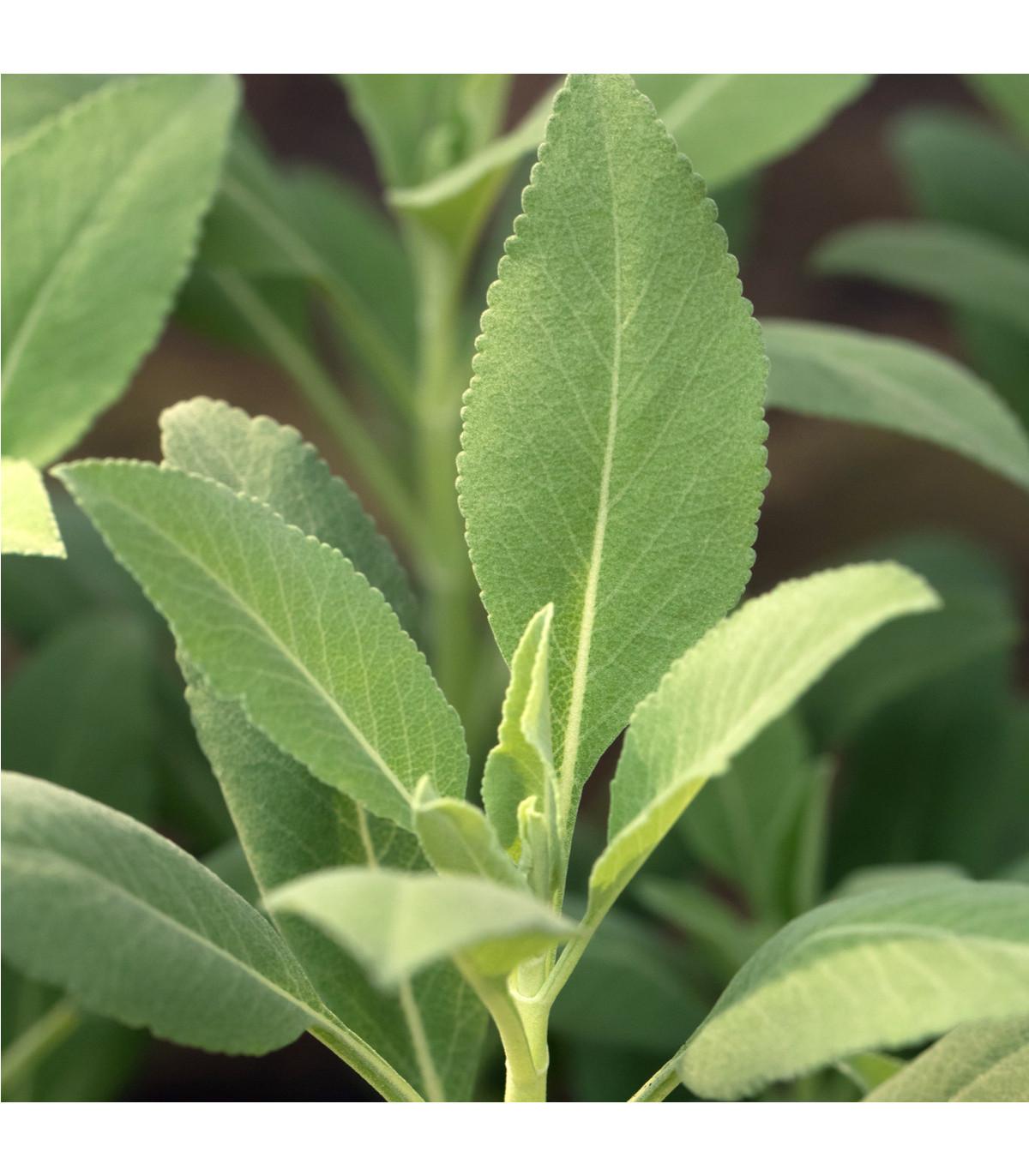 Šalvěj bílá - Salvia apiana - semena šalvěje - 10 ks