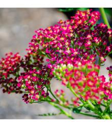 Řebříček obecný Cerise Queen - Achillea millefolium - semena Řebříčku - 0,1 g