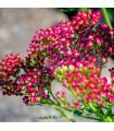 Řebříček obecný Cerise Queen - Achillea millefolium - semena Řebříčku - 0,5 gr