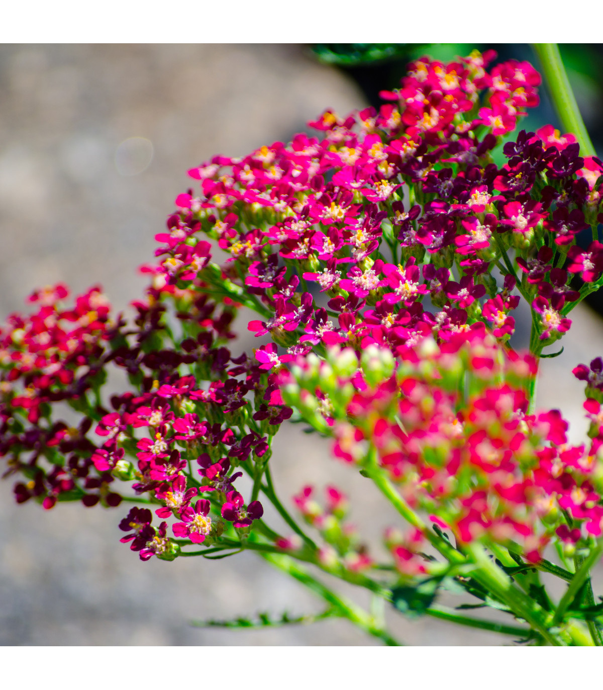 Řebříček obecný Cerise Queen - Achillea millefolium - osivo řebříčku - 0,1 g