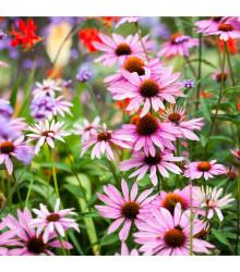 More about Třapatkovka bledá - rostlina Echinacea pallida - prodej semen - 15 Ks