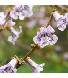 Paulovnie catalpifolia - Paulownia semena - 15 ks