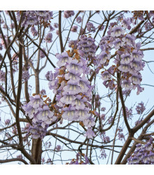 Čínský císařský strom - Paulovnie plstnatá - Paulownia tomentosa - semena Paulovnie - 15 ks