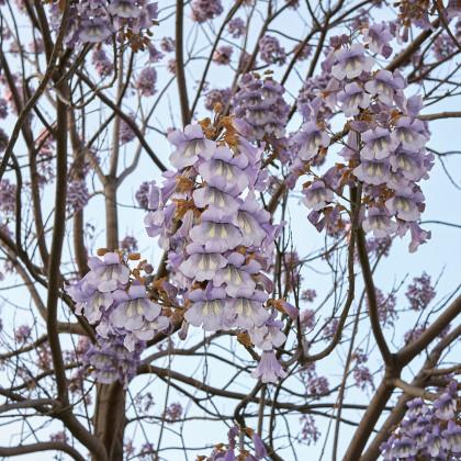 Čínský císařský strom- Paulovnie plstnatá- Paulownia tomentosa- semena Paulovnie- 10 ks