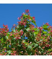 Javor tatarský - Acer tataricum - semena Javoru - 5 ks