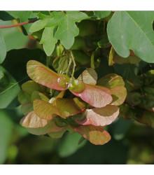 Javor opalus - Acer opalus - semena Javoru - 5 ks