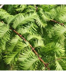 More about Metasekvoj čínská - Metasequoia glyptostroboides - prodej semen - 10 ks